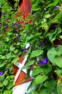 SSE Grandpa Otts Morning Glory Photo courtesy of Seed Savers Exchange